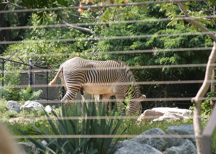 National Greeting Card featuring the photograph National Zoo - Zebra - 12121 by DC Photographer