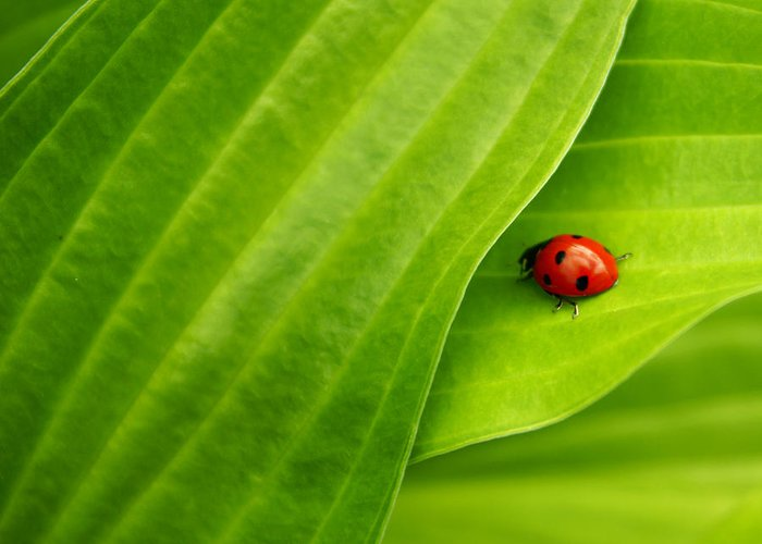 Ladybug Greeting Card featuring the photograph Naturellement Complementaire by Aimelle