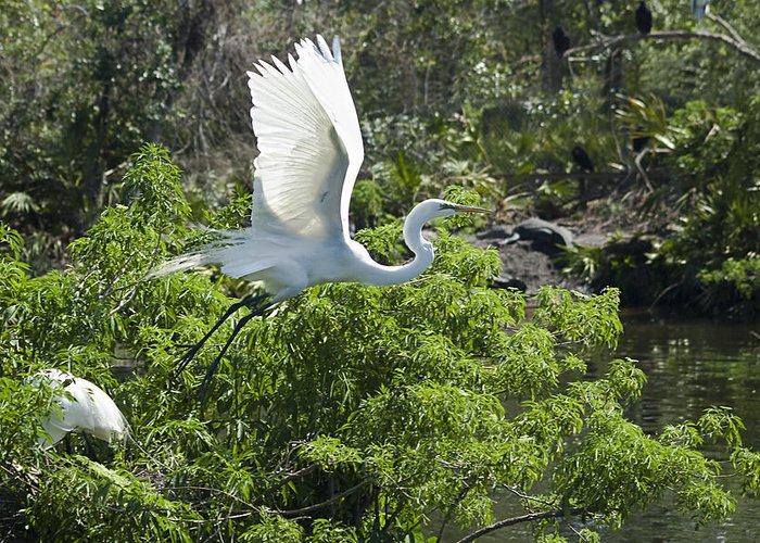 Great White Egrets Greeting Card featuring the photograph Need More Branches by Carolyn Marshall