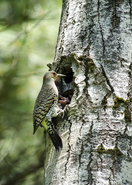 Woodpeckers Greeting Card featuring the photograph Northern Flicker Nest by Christina Rollo