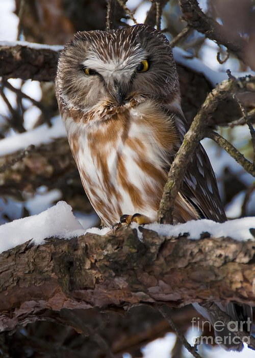 Festblues Greeting Card featuring the photograph Northern Saw-whet Owl.. by Nina Stavlund
