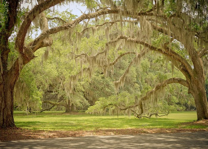 Landscape Greeting Card featuring the photograph Oak Trees Draped With Spanish Moss by Kim Hojnacki