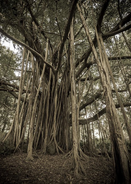 3scape Photos Greeting Card featuring the photograph Old Banyan Tree by Adam Romanowicz