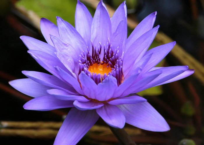 One Flower Greeting Card featuring the photograph One Purple Water Lily by Carol Groenen
