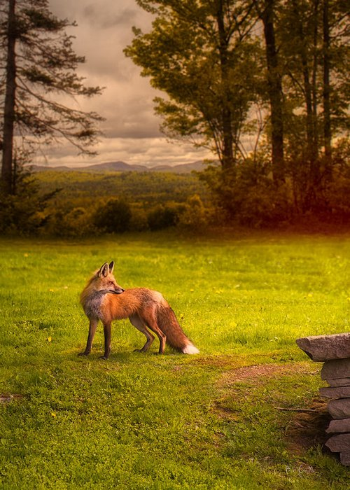Fox Greeting Card featuring the photograph One Red Fox by Bob Orsillo