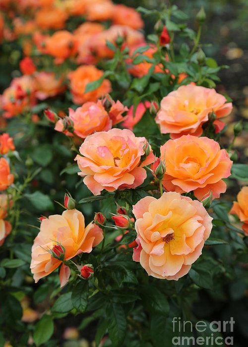 Rose Greeting Card featuring the photograph Orange Roses by Carol Groenen