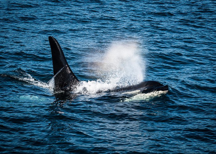 Orca Greeting Card featuring the photograph Orca Whale On The Move by Puget Exposure