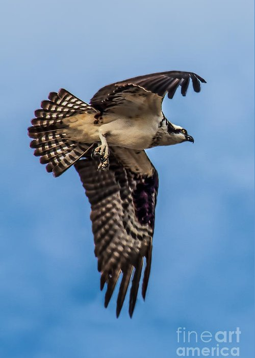 Osprey Greeting Card featuring the photograph Osprey Flying Away by Robert Bales