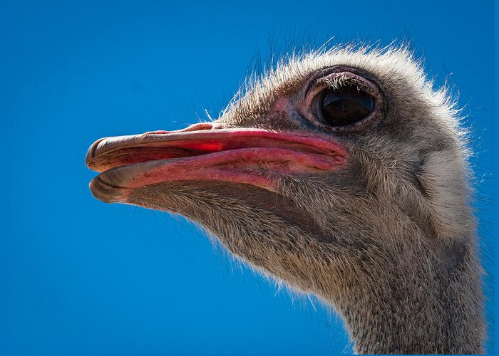 Ostrich Greeting Card featuring the photograph Ostrich Profile by Jean Noren