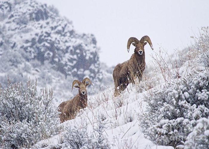 Ram Greeting Card featuring the photograph Pair Of Winter Rams by Mike Dawson