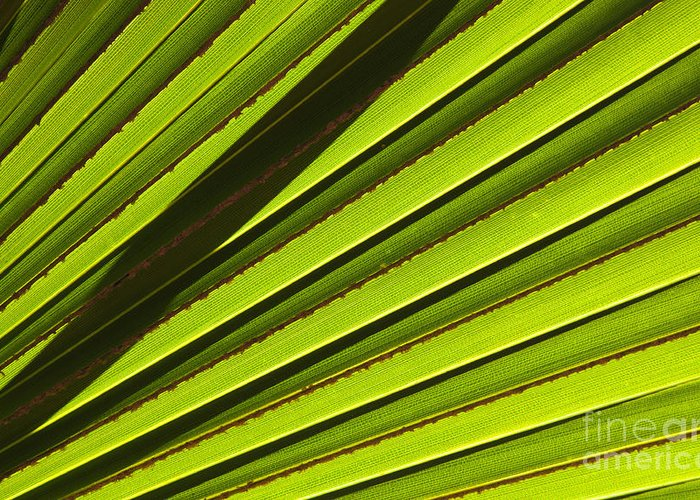 Palm Leaf Greeting Card featuring the photograph Palm Lines by Mike Dawson