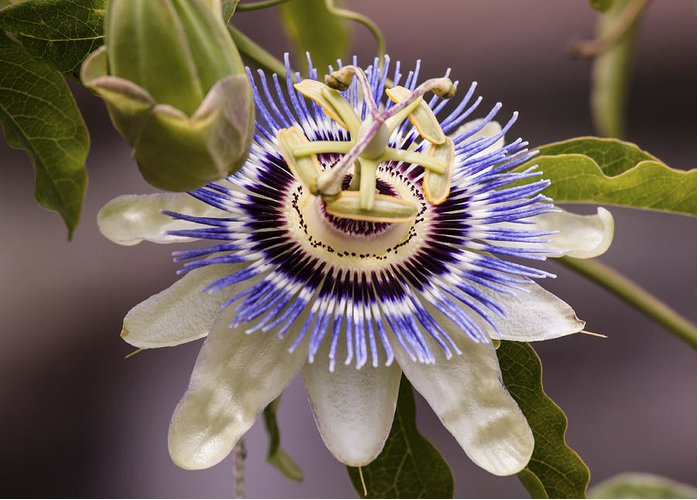 Passion Flower Greeting Card featuring the photograph Passiflora Caerulea by Caitlyn Grasso