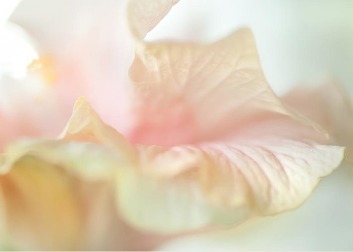 Hibiscus Greeting Card featuring the photograph Peach Delicacy. Hibiscus Macro by Jenny Rainbow