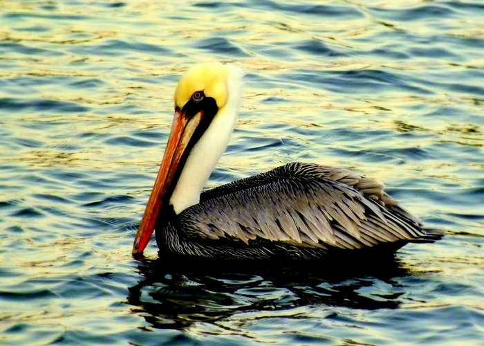 Pelicans Greeting Card featuring the photograph Pelican Waters by Karen Wiles
