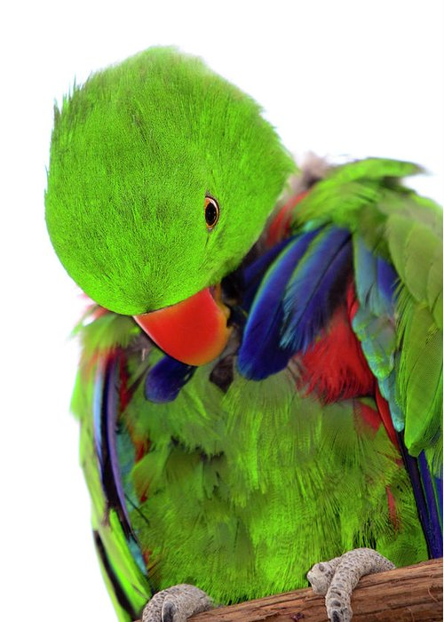 Eclectus Parrot Greeting Card featuring the photograph Perfect Bird by Crystal Wightman
