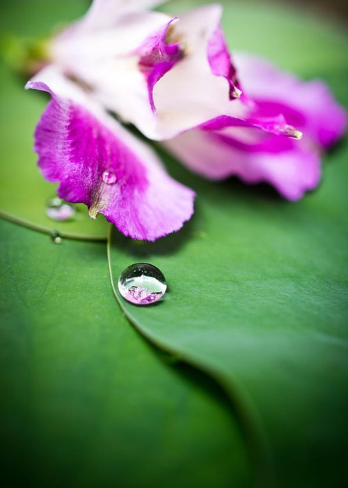 Floral Greeting Card featuring the photograph Peruvian Lily Raindrop by Priya Ghose