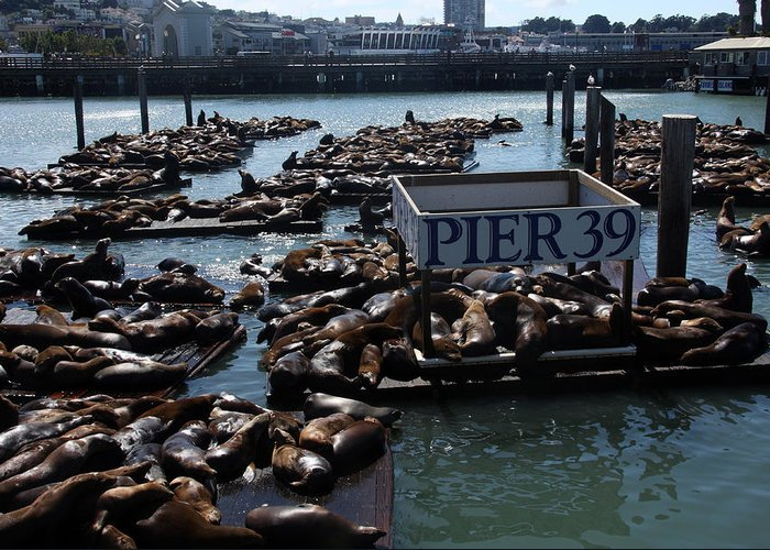 Seals Greeting Card featuring the photograph Pier 39 San Francisco Bay by Aidan Moran