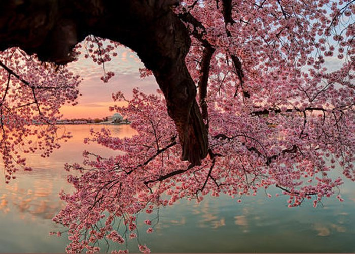 Metro Greeting Card featuring the photograph Pink Cherry Blossom Sunrise by Metro DC Photography