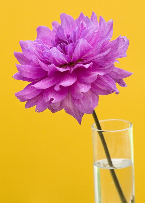 Flower Greeting Card featuring the photograph Pink Dahlia In A Vase Against Yellow Orange Background by Natalie Kinnear