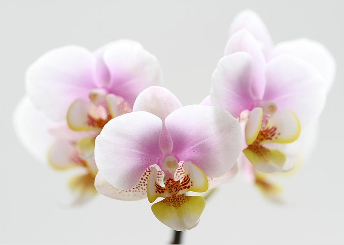 Orchid Greeting Card featuring the photograph Pink Sensation by Juergen Roth