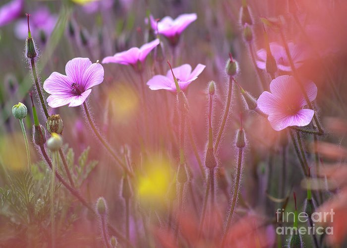 Horizontal_format Greeting Card featuring the photograph Pink Wild Geranium by Heiko Koehrer-Wagner