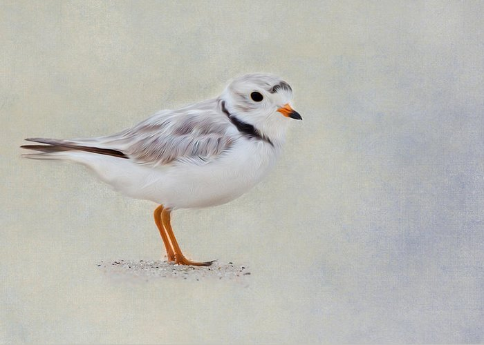 Plover Greeting Card featuring the photograph Piping Plover by Bill Wakeley