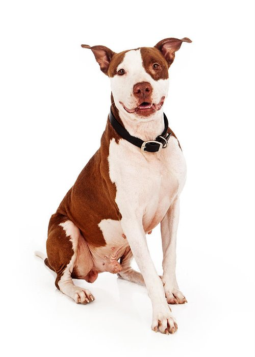 Animal Greeting Card featuring the photograph Pit Bull Dog With Happy Expression by Susan Schmitz