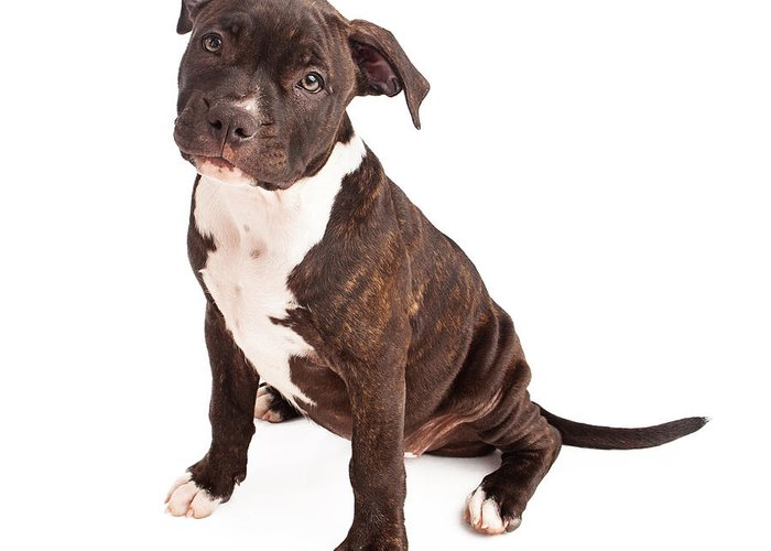 Animal Greeting Card featuring the photograph Pit Bull Puppy Black And White by Susan Schmitz