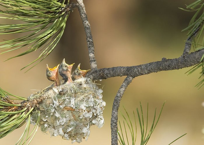 Feb0514 Greeting Card featuring the photograph Plumbeous Vireo Begging Arizona by Tom Vezo