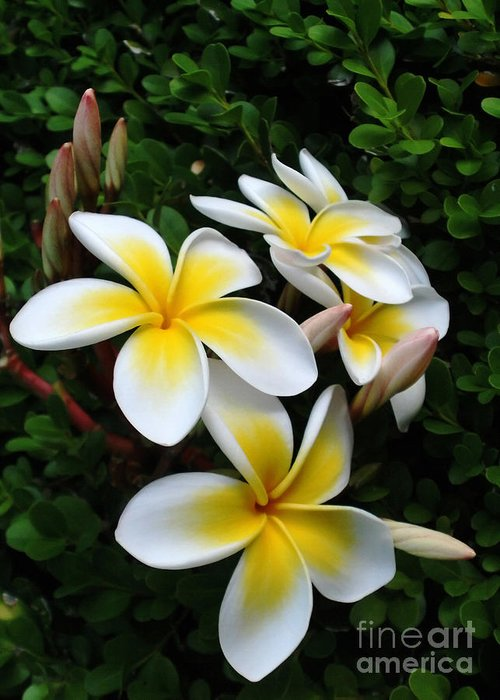 Photography Greeting Card featuring the photograph Plumeria In The Sunshine by Kaye Menner