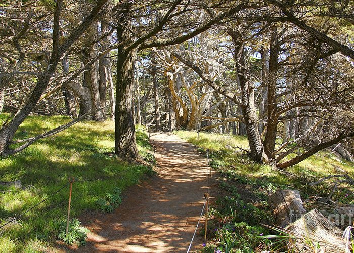 Cypress Trees Greeting Card featuring the photograph Point Lobos Cypress Path by Jack Schultz