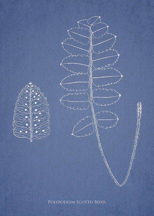 Fern Greeting Card featuring the drawing Polypodium Scottii by Aged Pixel