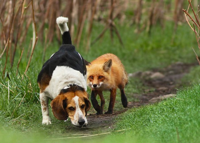 Animals Greeting Card featuring the photograph Probably The World's Worst Hunting Dog by Mircea Costina Photography