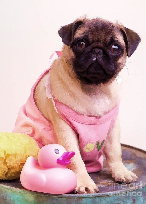 Pug Pink Dog Pet Puppy Puppies Cute Adorable Portrait Duckie Duck Bathtime Bath Wash Dress Clothed Clothing Greeting Card featuring the photograph Pug Puppy Bath Time by Edward Fielding