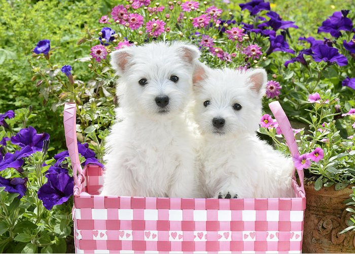 White Greeting Card featuring the photograph Puppies In A Pink Basket by Greg Cuddiford