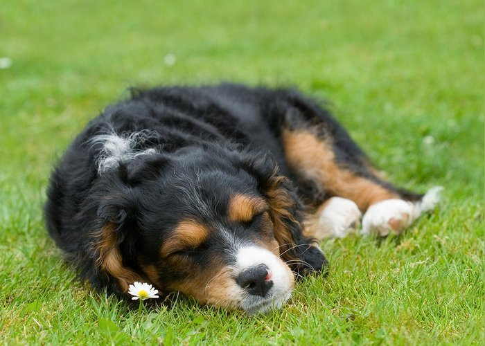 Pup Greeting Card featuring the photograph Puppy Asleep With Garden Daisy by Natalie Kinnear