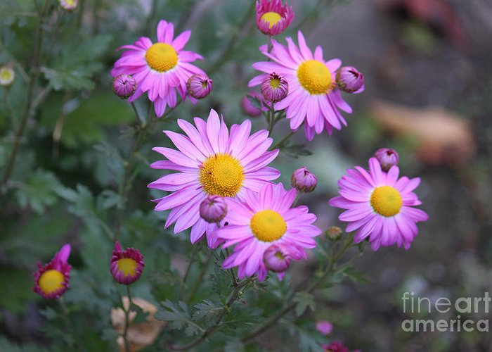 Purple Greeting Card featuring the photograph Purple Asters by Lena Auxier
