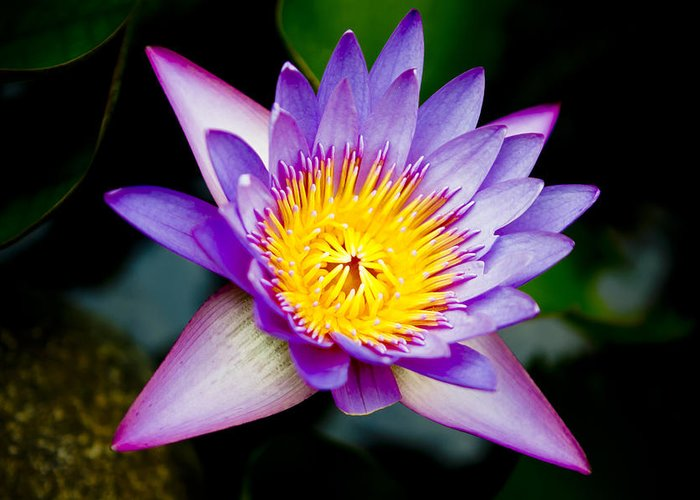 Flowers Greeting Card featuring the photograph Purple Lotus by Raimond Klavins