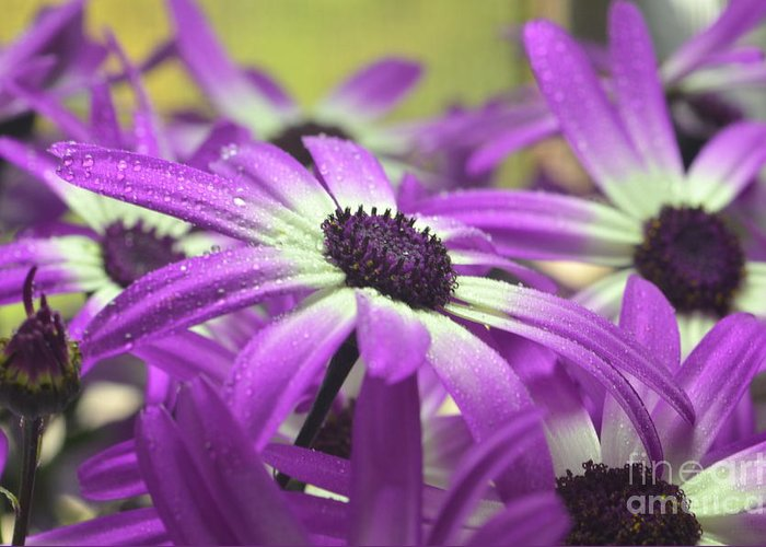 Senetti Greeting Card featuring the photograph Purple Senetti Iv by Cate Schafer