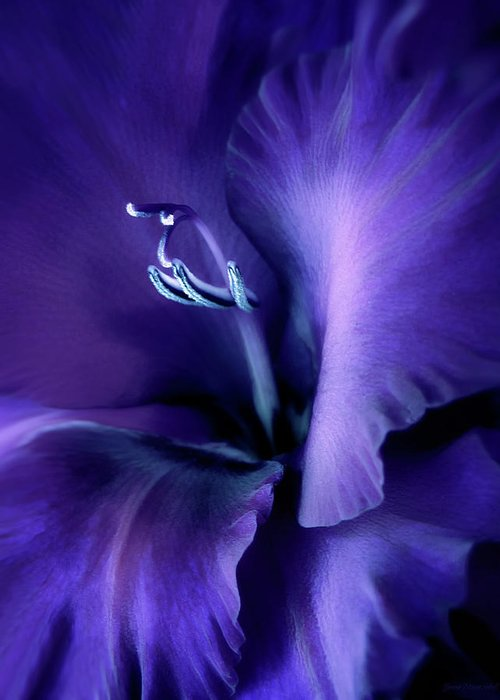 Gladiola Greeting Card featuring the photograph Purple Velvet Gladiolus Flower by Jennie Marie Schell