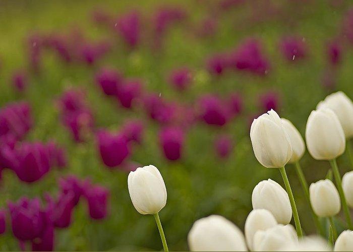 Rain Drops Keep Falling On My Tulips Greeting Card by Nick  Boren