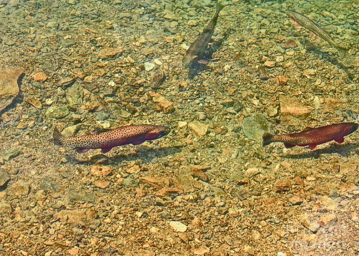 Rainbow Trout Greeting Card featuring the photograph Rainbow Trout by Tonya Hance
