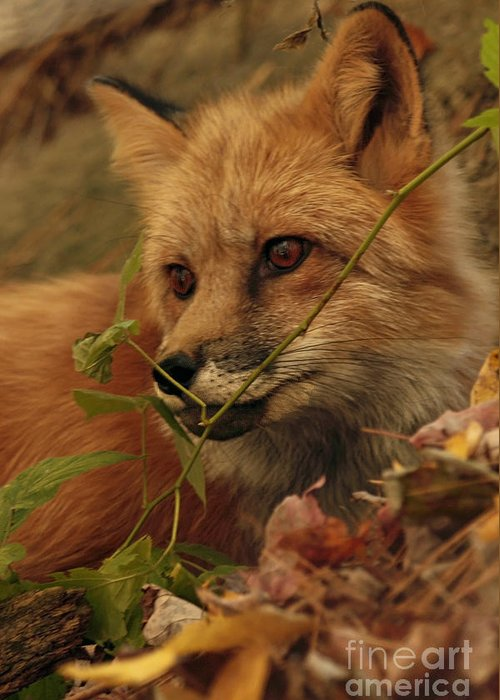 Red Greeting Card featuring the photograph Red Fox In Autumn Leaves Stalking Prey by Inspired Nature Photography Fine Art Photography