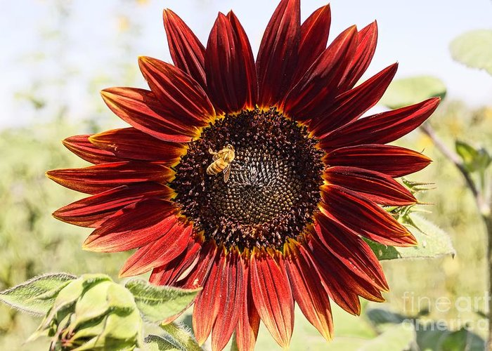 Agriculture Greeting Card featuring the photograph Red Sunflower And Bee by Kerri Mortenson