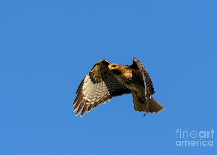 Hawk Greeting Card featuring the photograph Red-tail Hover by Mike Dawson