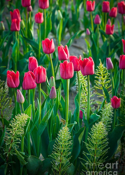America Greeting Card featuring the photograph Red Tulips In Skagit Valley by Inge Johnsson