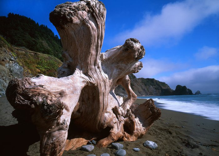 Redwood National Park Greeting Card featuring the photograph Redwood Roots by Ray Mathis