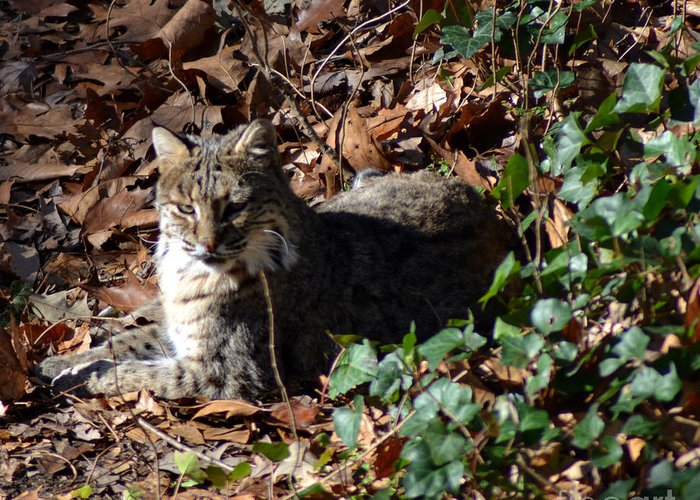 Wildlife Greeting Card featuring the photograph Relaxing Male Bobcat by Eva Thomas