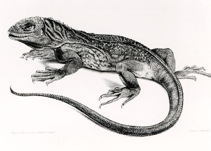 Lizard Greeting Card featuring the painting Reptile by English School