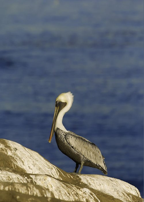 Dusk Greeting Card featuring the photograph Resting Pelican by Sebastian Musial